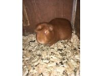 10cc5c4fa744 Small furry pets for sale in West Midlands - Gumtree