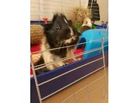 2 Male Guinea Pigs For Rehoming
