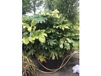 Fatsia japonica (castor oil plant