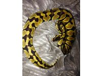 Now only £150 Python Royal enchi pastle female