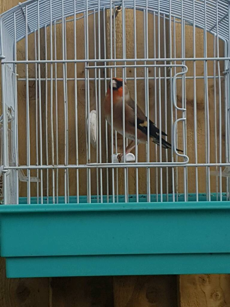 Bully x goldfinch
