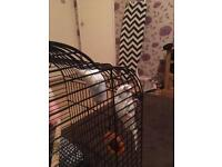 2 budgies for sale