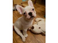 French Bulldog Puppie White with Blue Gene Boy
