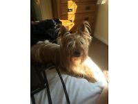 Yorkie for sale