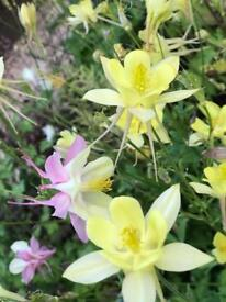 Fully grown aquilegia 7 plants pink, blue, purple, yellow, red & white only £10