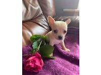 Fully vet checked Jack Russell x Chi puppies for sale for sale  Horley, Surrey