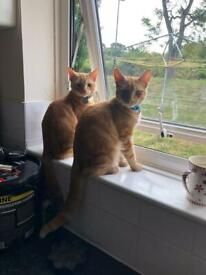 2 Ginger brother cats