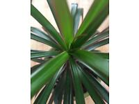 Dragon plant Dracaena Marginata - lovely, healthy houseplant