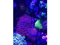 Marine Coral red and purple Zoas with 2 purple mushrooms