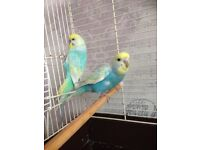 2 baby budgies with cage £65