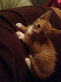 Gorgeous male ginger kitten with all accessories £500