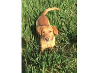 Lovely 14 month female Labrador for re home