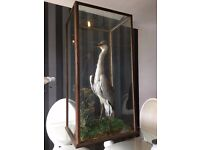 Very Large Taxidermy Heron - Large Cased Stuffed Heron - Vintage Taxidermy Bird - Good Condition