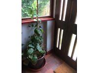 Large pot plants. Aspidistra and Money plant