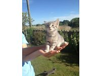 Gorgeous friendly silver tabby kittens for sale