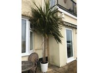 Large tall palm tree