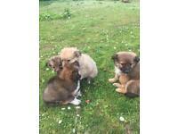 Pomeranian/shih tzu puppies for sale