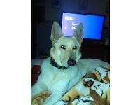 4 yr old male white &champagne german shepard for sale