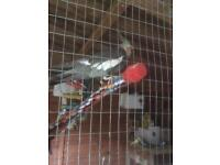 Adult Male Cockatiels for sale