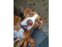 American bully x alpha blue blood pup