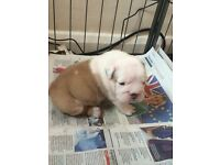 KC registered English Bulldog pups!