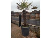 Large Palm in Grey Pot