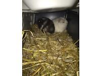 X2 female guinea pig-breed American crest's
