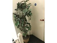 Artificial Plants x 2 for Sale - Popular in Offices, and Medical/ Dental Practices