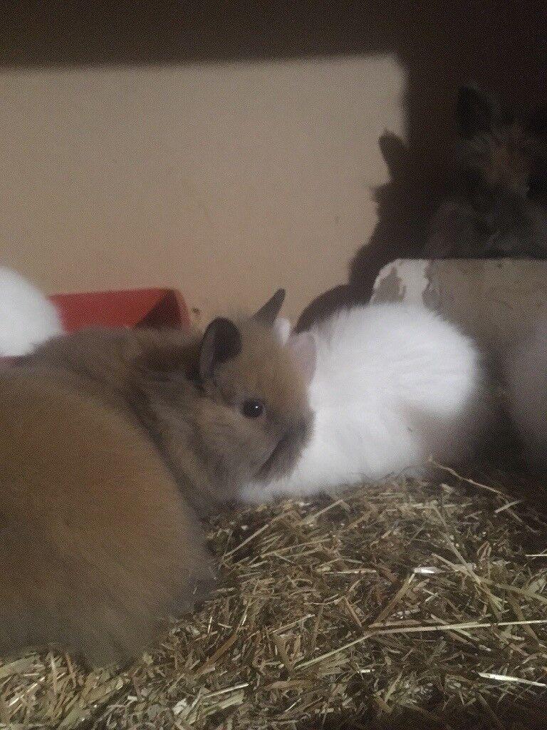 Double main Lionhead bunnies only 3 left