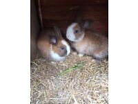 Baby rabbits pair for £35