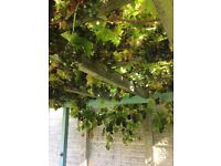 Grapes ideal for wine making