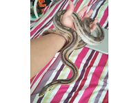 4 corn snake (open to offers)