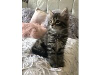 Maincoon cross kittens - incredibly friendly