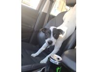 (NO LONGER AVAILABLE)Jack russel (9 month old) injections upto date and fleed and wormed