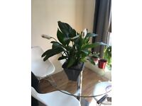 1X Large Peace lily - Spathiphyllum Chopin (70cm Approximately) – House plant