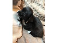 10 week old Yorkshire terrier cross chihuahua