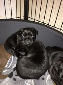 Pug puppies For sale !! 1 girl, 1 boy pug left !!!
