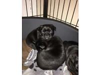 Pug puppies For sale !! 1 girl, 1 boy pug left !!!