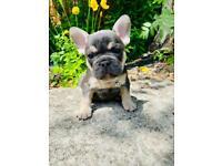 KC French Bulldog Puppies Blue/tan Lilac/tan