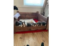 Blue&tan / cream frenchbulldogs -5 still available - ready to leave october- Worksop