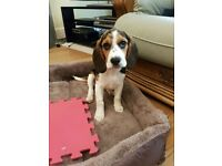 4 month old beagle