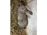 Baby bunnies rabbits and baby guinea pigs available
