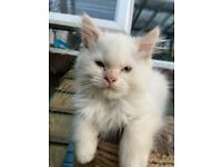 Beautiful male, flame point Ragdoll kitten