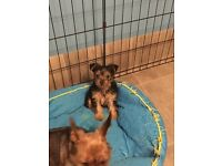 Adorable Yorkshire terrier /Yorkie puppies
