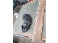 Baby male guinea pigs (3 left)