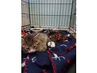 9 week old tabby female kitten