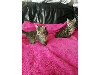 Beautiful Turkish Angora cross Persian kittens forsale