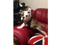 K C registered bulldog puppy's READY NOW 5 generation pedigree , just had 2nd injections & microchip