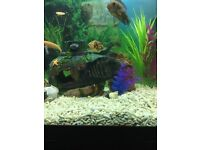 Convict Cichlid fish pair for sale