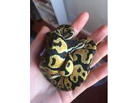 Ball Pythons and Garter Snake for Sale